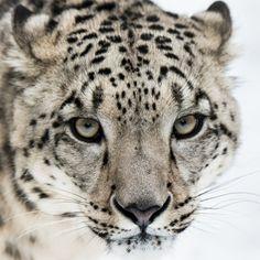 Snow Leopard by Abeselom Zerit