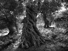 Monster olive tree II by Mirsad M  on Olive Tree, Crete, Earth, Island, Nature, Plants, Painting, Foods, Food Food