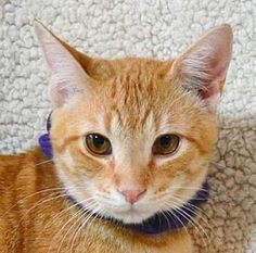 Pictures of Tropicana a Domestic Shorthair for adoption in Little Rock, AR who needs a loving home.