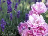 Romantisches Rosenbild Sommerwind mit Lavendel