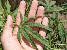 Dónde y cuándo es legal usar esta controversial droga con fines terapéuticos