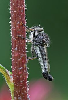 I will never be the same ~ robber fly at www.RothGalleries.com