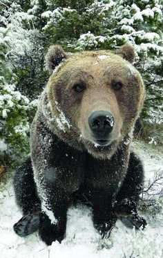 Montana officials said Tuesday they will not challenge a wildlife company's refusal to kill a captive brown bear involved in the fatal mauling of an animal trainer. Animals And Pets, Funny Animals, Cute Animals, Amazing Animals, Animals Beautiful, Maned Wolf, Love Bear, Big Bear, Tier Fotos