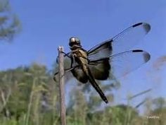 gragonflies in flight - - Yahoo Image Search Results