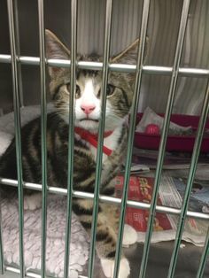 This lovely little one was brought into Wylies vets in Upminster as a stray kitten handed in overnight. It was found in Heathway/Parsoles Avenue, Dagenham. Its sadly not microchipped. Are you missing this lovely little one or know who he belongs to? If you do, please contact Wylies vets in Upminster.