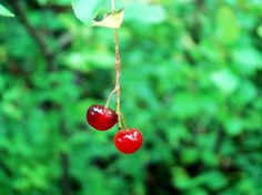 By a Thread by Zinvolle - .and then right in the middle of all that green in the woods there were 2 small red berries yet so grand. Red Berries, Woods, Middle, Wall Art, Green, Plants, Woodland Forest, Forests, Plant