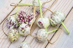Hämmentäjä: Valkosipulin kasvatus ja kasvimaan syystöitä. Hämmentäjä: Valkosipulin kasvatus ja kasvimaan syystöitä. Growing garlic and carrots. Autumn work in the garden.