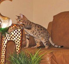 Gryffyn F4 Savannah #savannahcats #exoticcats #cats