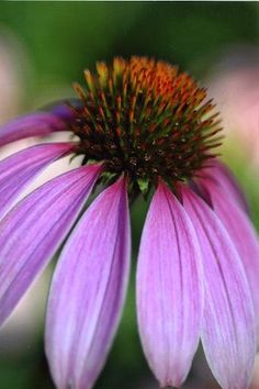 Coneflower is a great butterfly nectar plant.
