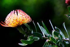 Pincushion Protea on #maui #hawaii. www.menehunemaps.com