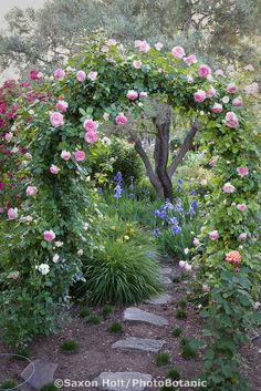 Pink climbing rose on arch trellis over path .
