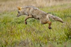 Coyote Jumping by Andrew Behr