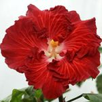 Tropical Hibiscus 'The Right Stuff'
