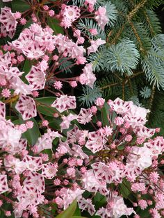 Pink Mountain Laurel. Mountain Laurel is the Pennsylvania State Flower.