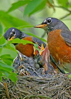 Robins tending to their nestlings. (Roland Jordahl)