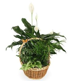 Basket Garden is just one of the many funeral floral arrangements available on Frazer Consultants' Tribute Store, an online flower store available on all Frazer-powered funeral home websites. #Butterfly #Green