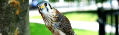 """""""Where I live"""" The American kestrel is the smallest and most common falcon in North America. It is widespread throughout North, South, and Central America"""