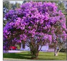 crepe myrtles - song of the south