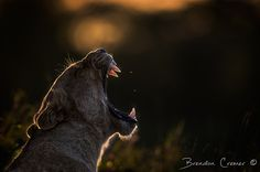 Backlit Yawn by Brendon Cremer #xemtvhay