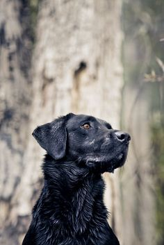 Mind Blowing Facts About Labrador Retrievers And Ideas. Amazing Facts About Labrador Retrievers And Ideas. Golden Retrievers, I Love Dogs, Cute Dogs, Fun Dog, Black Labrador Retriever, Labrador Retrievers, Labrador Puppies, Retriever Puppies, Dog Photography