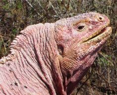 The Galápagos Pink Land Iguana is a Critically Endangered species found on the Galapagos islands.