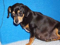 A4737801! <3 Dachshund Chihuahua Mix • Adult • Female • Med. L.A. County Animal Care Control: Castaic Shelter Castaic, CA.