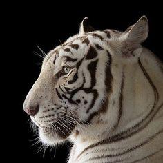 photo by @joelsartore | Rajah, an endangered male, white Bengal tiger at Alabama Gulf Coast Zoo