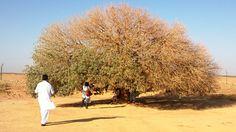 The Blessed Tree in Jordan