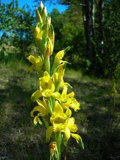 https://flic.kr/p/5jN4va | Orchidaceae - Chloraea lamellata Lindl. | endémica de Chile Lugar foto: Pucón