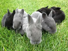 Bunnies - Silver fox rabbits are a rare heritage breed of rabbit. They are gentle, have large litters and they grow well on pasture. Raising Rabbits For Meat, Meat Rabbits, Bunny Rabbits, Baby Bunnies, Barnyard Animals, Cute Animals, Silver Fox Rabbit, Rabbit Breeds, Rabbit Hutches
