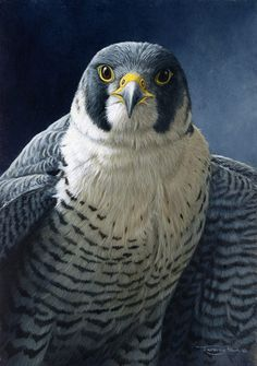 "Jeremy Paul, Wildlife Artist, british: ""Peregrine""."
