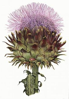 elaine searle botanical artist - Google Search
