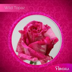 For every taste, there is an exclusive color that describes you. Meet Wild Topaz, a hot pink rose with attitude! Hot Pink Roses, Organic Roses, Describe Yourself, Topaz, Attitude, Meet, Color, Colour, Colors