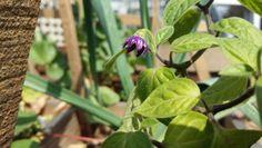 Flor de chile manzano
