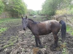 Townend Fell Pony Filly 14hh