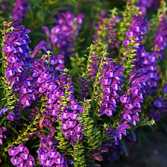 Scutellaria biacalensis. One of the best.
