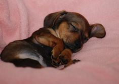 "Sleeping dachshund pup is off the charts on the ""awww"" scale."