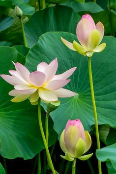 Lotus flowers grow and blossom out of the muddy waters…like people who emerge beautiful and peaceful as they struggle through and overcome obstacles Exotic Flowers, Amazing Flowers, Beautiful Flowers, Beautiful Gorgeous, Yellow Flowers, Arte Floral, Flower Pictures, Mother Nature, Planting Flowers