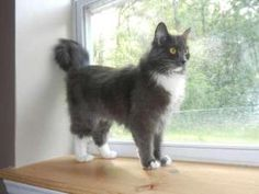 SC - Gracie is an adoptable Maine Coon Cat in Spartanburg, SC. Maine Coon Rescue cannot guarantee the parentage or breed of cats on this site.   WHO WANTS TO GET HER FOR ME!?