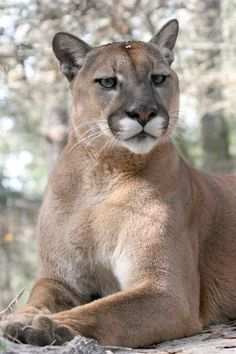 Hal, the cougar.