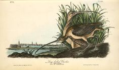 1912 British Warblers Print Male Savis Warbler ~ GrÖnvold More Discounts Surprises Art Prints