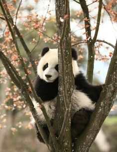 Information about types of pandas that exist in the world. Not only that, you can find fun facts about giant pandas and red pandas too. Cute Wild Animals, Animals Beautiful, Animals And Pets, Funny Animals, Nature Animals, Photo Panda, Panda Facts, Panda Mignon, Baby Panda Bears