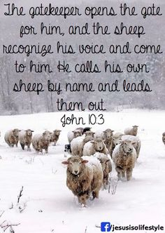 all we like sheep . Praise to our God who likens us to wandering sheep and His own son to the Good Shepherd who seeks and saves the lost one, rejoicing over it. Farm Animals, Animals And Pets, Cute Animals, Snow Scenes, Winter Scenes, Beautiful Creatures, Animals Beautiful, Sheep And Lamb, Sheep Farm