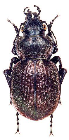 Calosoma (Callisthenes) elegans kolshengelicus Obydov, 1997
