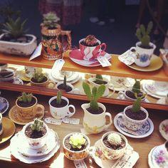 Cacti in teacups