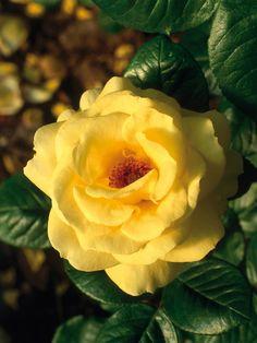 Grow These Rose Types for Maximum Fragrance --> http://www.hgtvgardens.com/photos/shrubs-photos/roses-for-fragrance?soc=pinterest