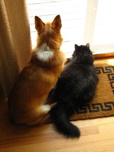 could be Callie, my Mother's Corgi, and Percy, my Maine Coon....although Percy, would be HUGE!!!  E