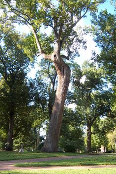 The Davie Poplar on UNC's campus. This tree marks the spot where, as legend has it, Revolutionary War General William R. Davie selected the site for the University. The massive tree has been struck by lightning and survived several hurricanes, including the damage caused in 1996 by Hurricane Fran. Davie Poplar Jr., grown from a cutting, and Davie Poplar III, grown from the eldest tree's seed, are planted nearby.
