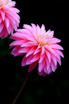 The Painted Bench - Pink Dahlias