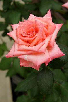 'Princess Sayako' | Hybrid Tea rose, @ T. Kiya